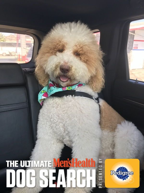 Help my friend's pooch become The Ultimate Men's Health Dog. Vote Today! #MHDogContest #goldenpoodle