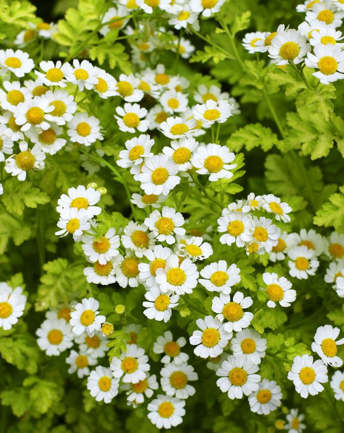 Tanacetum parthenium aureum (Golden Feverfew) self-sows. Pot up seedlings as contrast in your containers. This plant works in full sun to full shade and provides great contrast to dark greens, red, burgundy, magenta, dark pink, and a whole range of oranges.