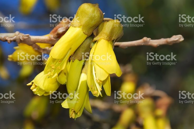 New Zealand Native Kowhai Bloom, Spring royalty-free stock photo
