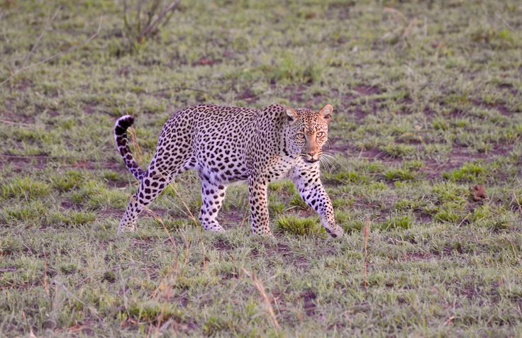 A prancing leopard in the Serengeti. Photo Credit: Mallik Reddy.
