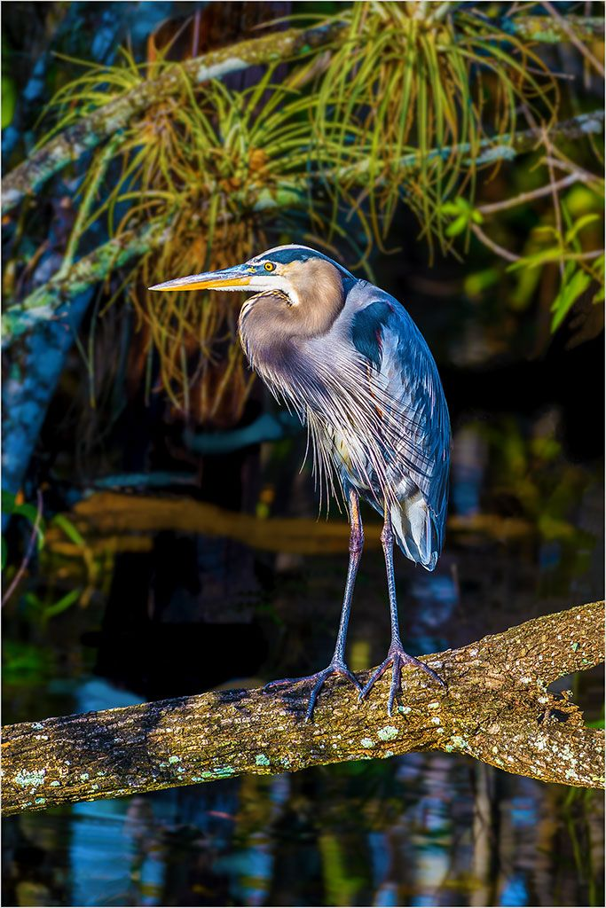 Great Blue Heron in the Everglades at sunset, Big Cypress National Preserve, Florida