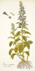 Lobelia as a Stop Smoking Aid Homeopathic Preparation: Take 10 drops of tincture dissolved in a glass of water three times daily.