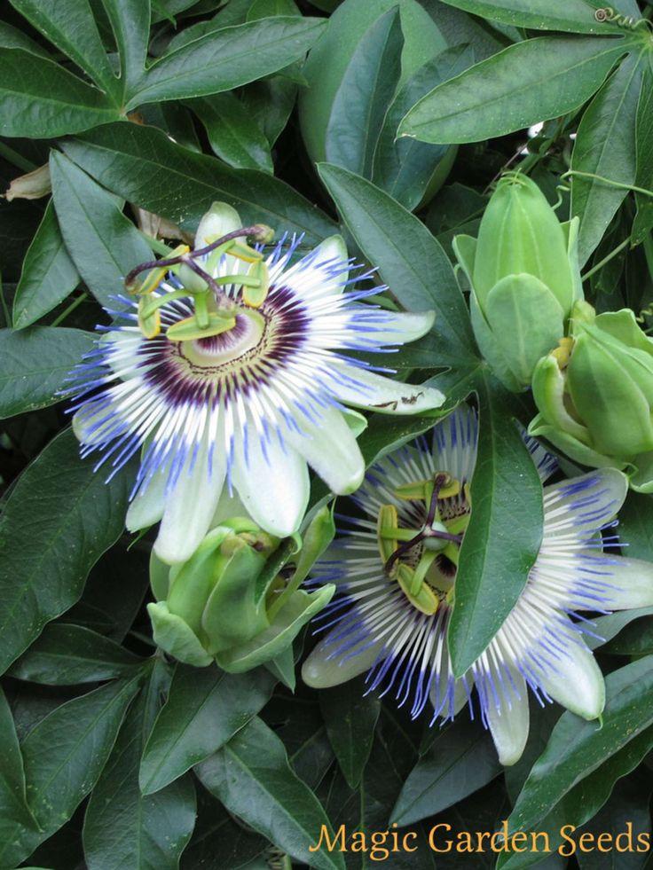 Teekräuter: Blaue Passionsblume (Passiflora caerulea) gilt in Form von Tee als beruhigend und schlaffördernd.Samen von Magic Garden Seeds
