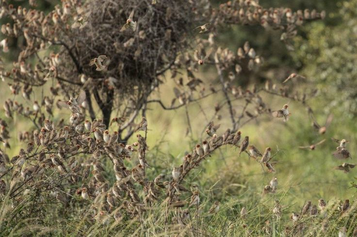 Red billed queleas in the thousands at Kruger
