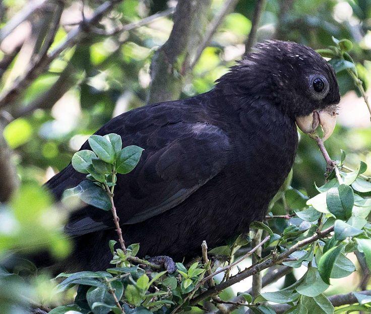 Pappagallo vasa minore - Black parrot - Coracopsis nigra
