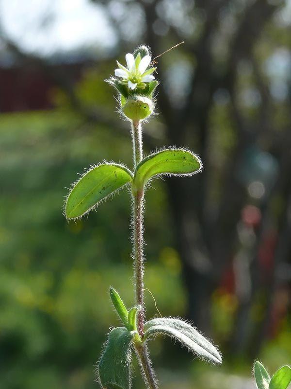 Hönsarv, Cerastium fontanum - Blomväxter - NatureGate