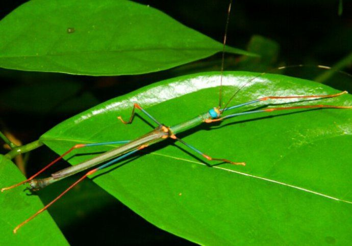 Stick Insect Gunung Leuser NP