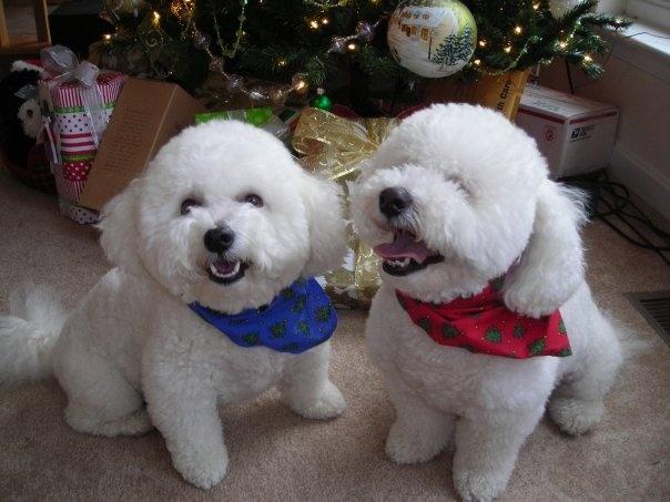 My beautiful Bichons on Christmas