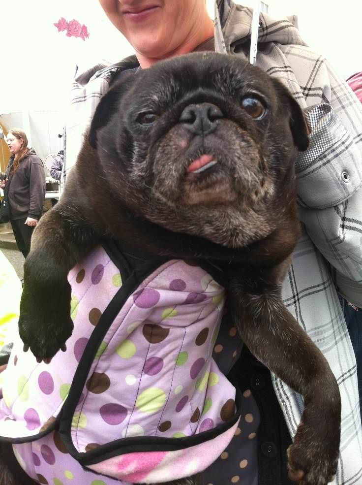 12 Pugs Who Demand To Be Taken Seriously Pugs Bulldog French