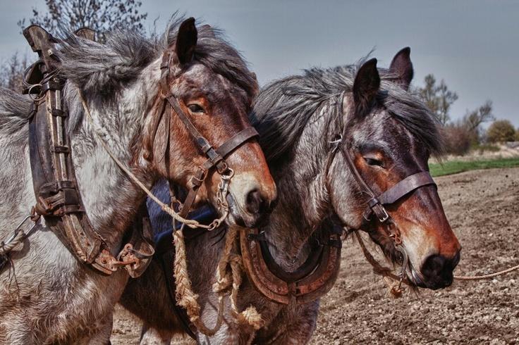 Dutch Heavy Draft Horse / Zeeuws trekpaard