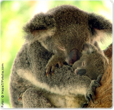 koala with baby joey. Puts a smile on my face:)