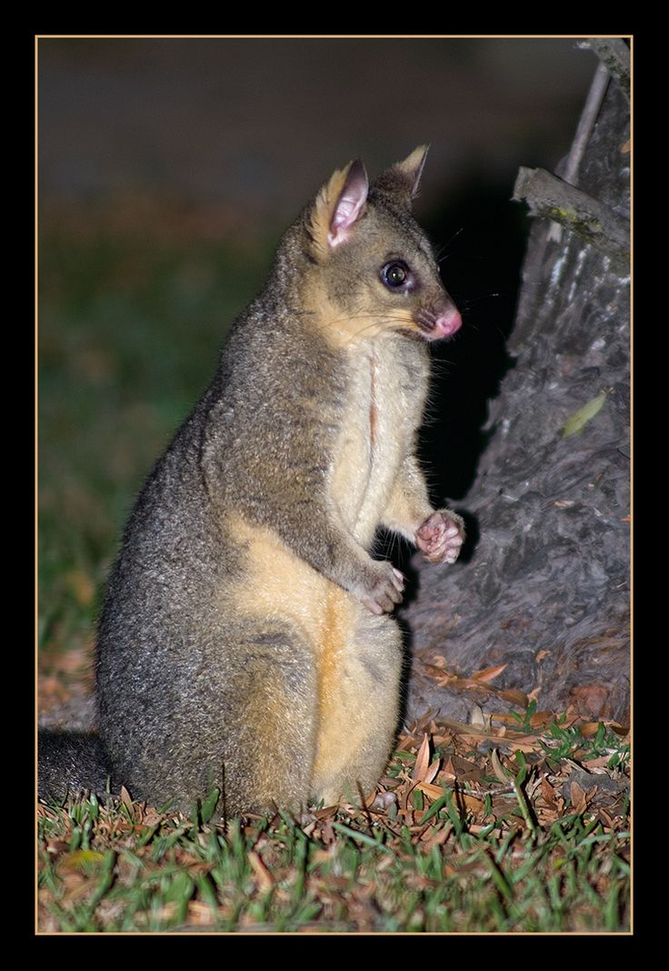 Mountain Brushtail Possum in south east Queensland, Australia.