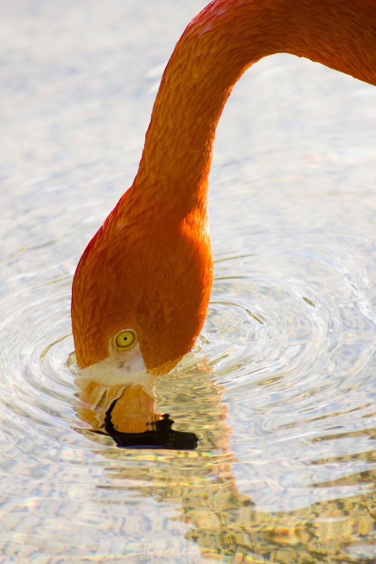 https://flic.kr/p/CQyQyj   Caribbean Flamingo   1 August 2015 Nashivlle Zoo at Grassmere Nashville, Tennessee