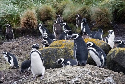 Seeing oenguins on Chiloe Island off the coast of Chile, cute little guys
