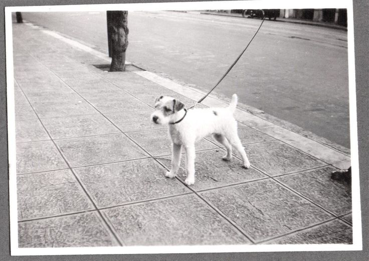 "POSING ON LEASH. WIRE HAIR FOX TERRIER DOG. 1930'S. 1930'S ERA. "" WIRE HAIR FOX TERRIERS "". "" SMOOTH FOX TERRIERS "". FETCHING SHOT ANIMALS, ETC. MOST DOG BREEDS. 