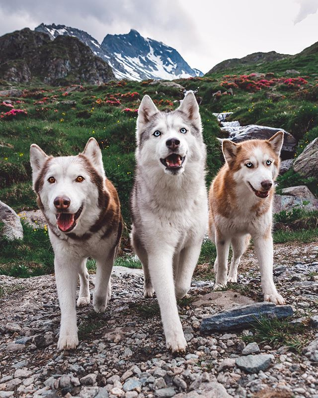 What The Huskysquad Thinks Of Hiking In The Swiss Alps Is