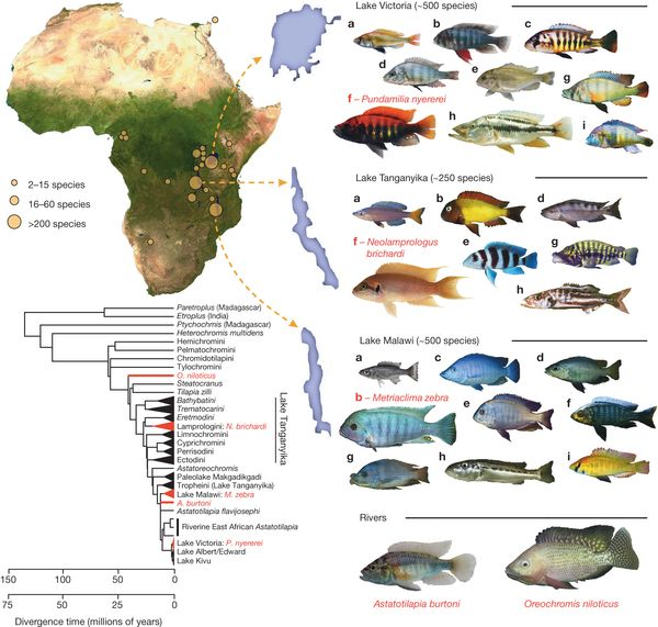 The adaptive radiation of African cichlid fish.