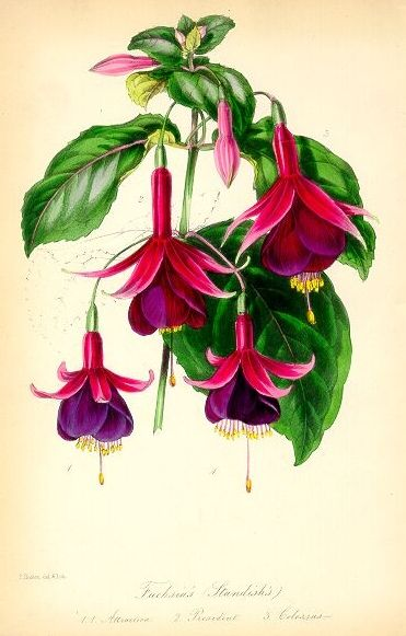 Standish's Seedling Fuchsia (1850) taken from Paxton's Magazine of Botany. Joseph Paxton (1803-1865).