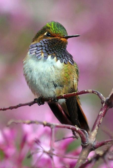 Volcano Hummingbird (Selasphorus flammula). A tiny hummingbird of Costa Rica and Panama. photo: raulvega.