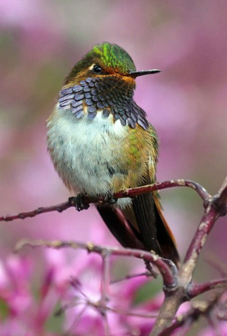 Volcano Hummingbird (Selasphorus flammula). A tiny hummingbird of Costa Rica and Panama. photo: raulvega.