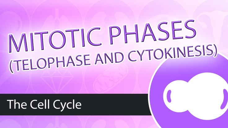 17++ What happens during cytokinesis in animal cells ideas
