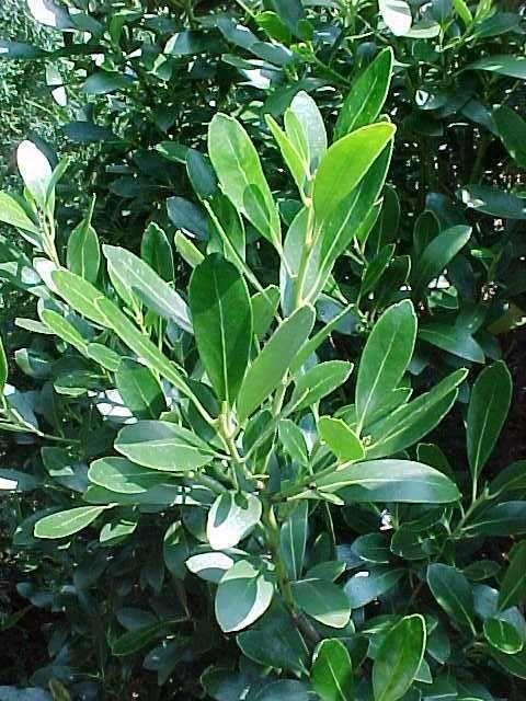 62 best evergreen shrubs images on pinterest evergreen for Tall evergreen shrubs