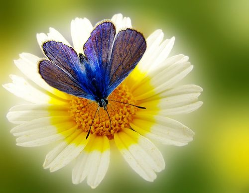 butterfly: Amazing Flowers, White Flowers, Flowers Photography, Blue Butterflies, God, Colors, Cobalt Blue, Daisies, Beautiful Flowers