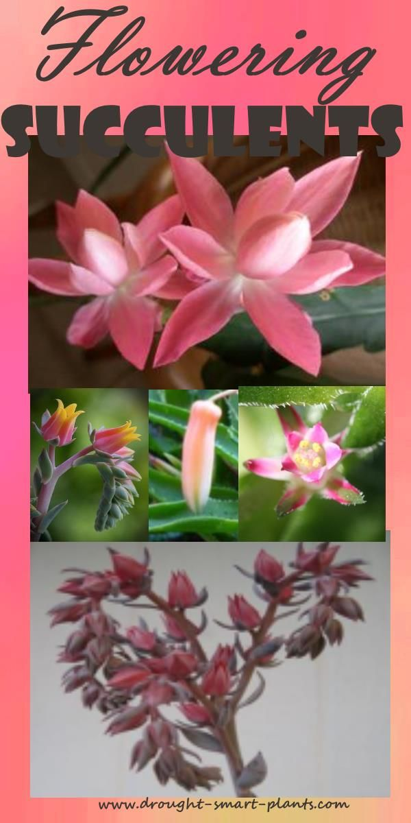 Flowering Succulent Plants - succulent plants with flowers