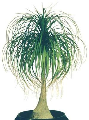 1000 images about house plants that could survive me on for Ponytail palm cats