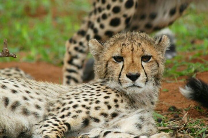 "Cheetah cub: "" looking at me?"""