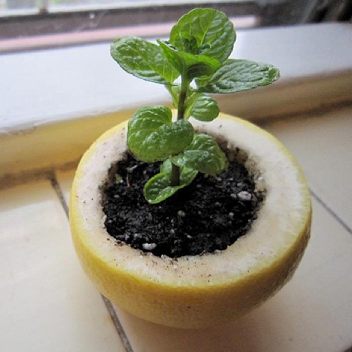 Si vas a trasplantar de una maceta al jardín te damos este original tip: Coloca la plantita, con tierra, en la cáscara de una toronja o un limón y así plántalo en la tierra. Verás que crecerá mucho más rápido y sana de lo normal, ya que tomará de la cáscara de la fruta muchos nutrientes, la cáscara poco a poco se irá descomponiendo en la tierra y servirá de abono para la planta.