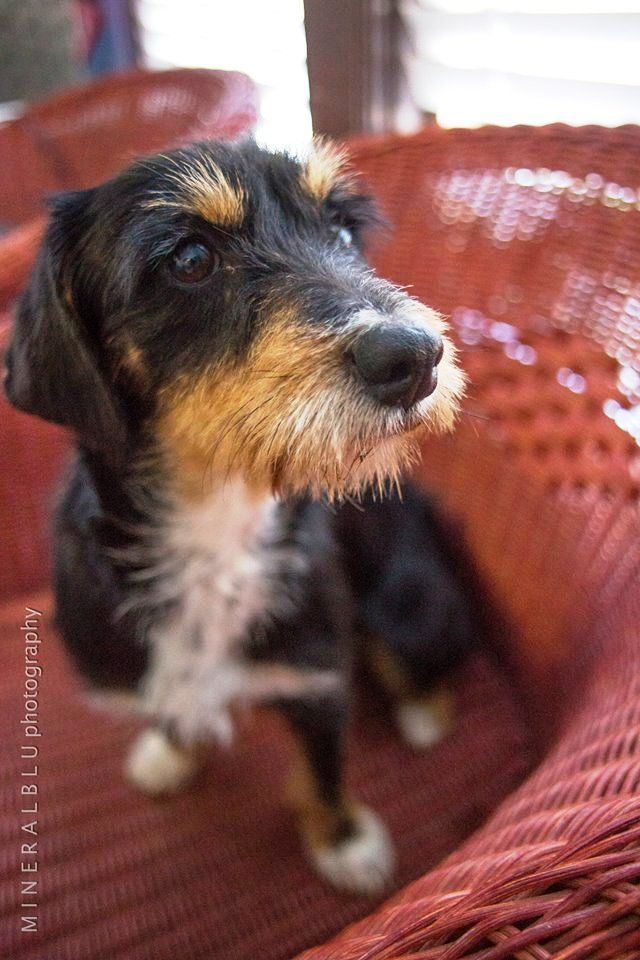 7 best Wire-haired Dachshund images on Pinterest | Dachshund dog ...