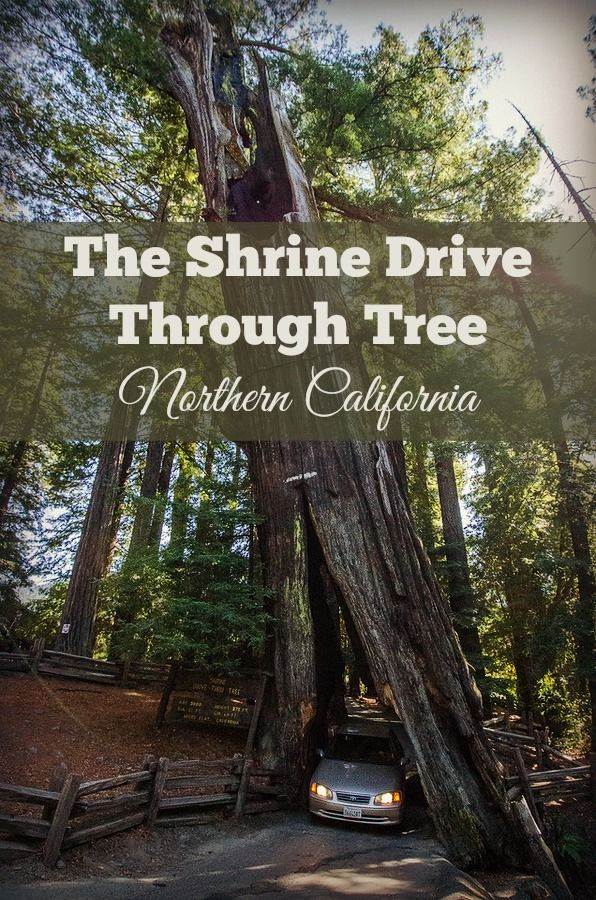 Drive your car through a giant redwood tree at the Shrine Drive Through Tree on Northern California's Avenue of the Giants.  California road trip ideas in Humboldt County.