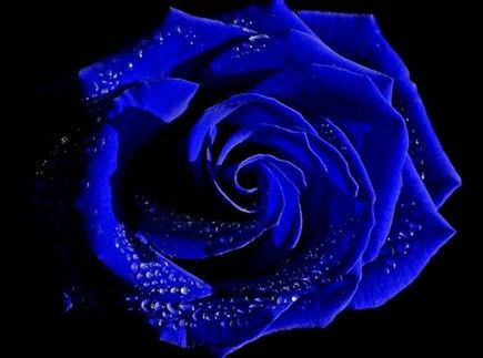 Purple Roses Wallpaper Desktop Purple Rose Wallpaper For