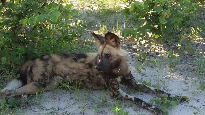 Botswana's Linyanti is renowned for its extraordinary wild dog packs. And to see a kill at Kings Pool, right in camp by the swimming pool... priceless!