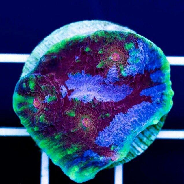 Chalice coral ! Nice piece.   Visit http://livingwellforsuccess.net