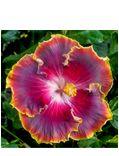Hibiscus 'Cajun Blue' (Hibiscus rosa-sinensis hybrid)