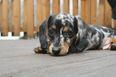 Blue Dapple Dachshund Puppies - Bing Images