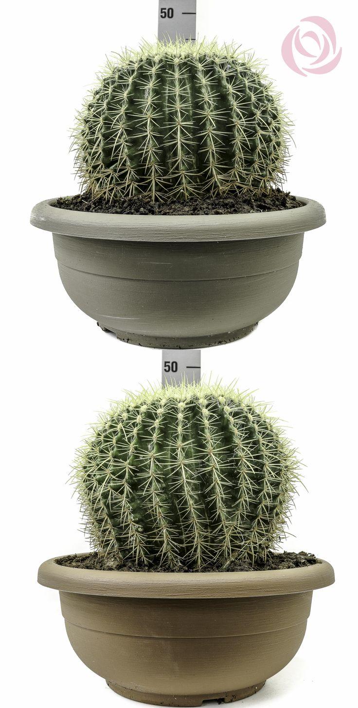 Echinocactus Grusonii - Ciotola 40cm #Eurosa #ProducedThroughGreenTechnology #TOPgamma