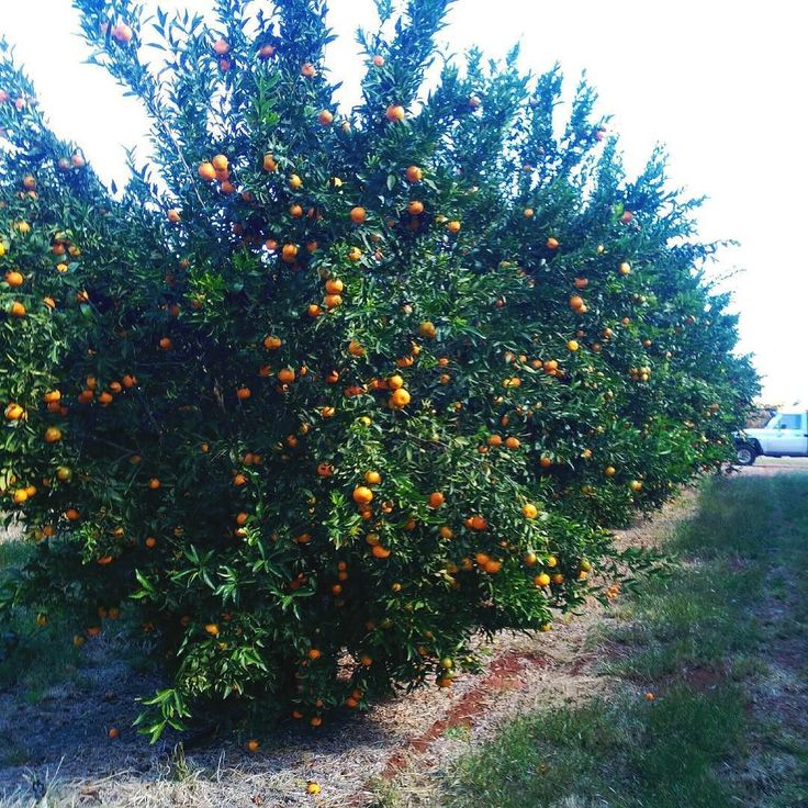 So it's goodbye to berry season (we will see them back in October) and HELLO to citrus season. We welcome Greg all the way from central Victoria along to market with his organic orchard grown citrus varieties. This week we will see new season mandarins and oranges. Boost that vitamin c the natural way  See you all tom from 9am #lakepertobe #warrnambool #greatoceanroad #freshmarketwarrnambool #warrnamboolmarket #citrus #citrusgrower by freshmarketwarrnambool