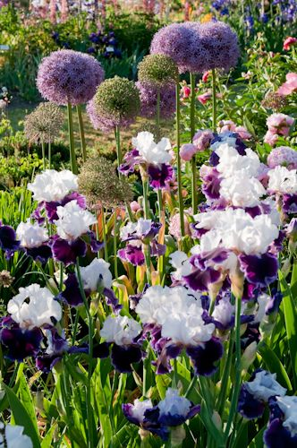 Allium Gladiator with iris...when I was a little girl, my grandmother had purple and white iris like these.  Their name was Wabash, and I really need to find some like these.  Sweet memories of walking with her along the terrace row with the Flower Grower magazine...