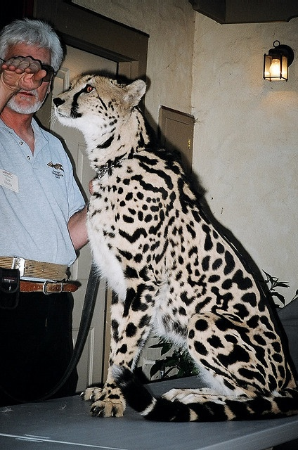 208 best King cheetah images on Pinterest | Big cats ...
