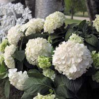 Blushing Bride Hydrangea | Buy online at Nature Hills Nursery