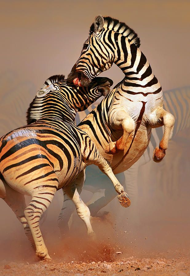Zebras Fighting Photograph by Johan Swanepoel