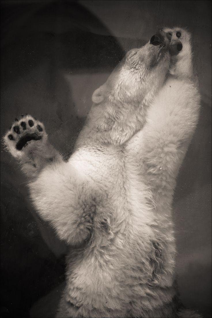 https://flic.kr/p/xFvEXR | Sadness... Variation2 | www.fotografik33.com Un ours polaire triste (Marineland Antibes) A sad Polar Bear (Marineland - FRANCE)