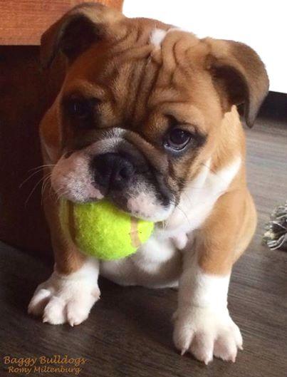 Pin By Virginia A Witman On Bulldog Bulldog Puppies Dogs