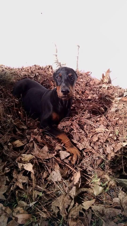 Doberman Pups For Sale