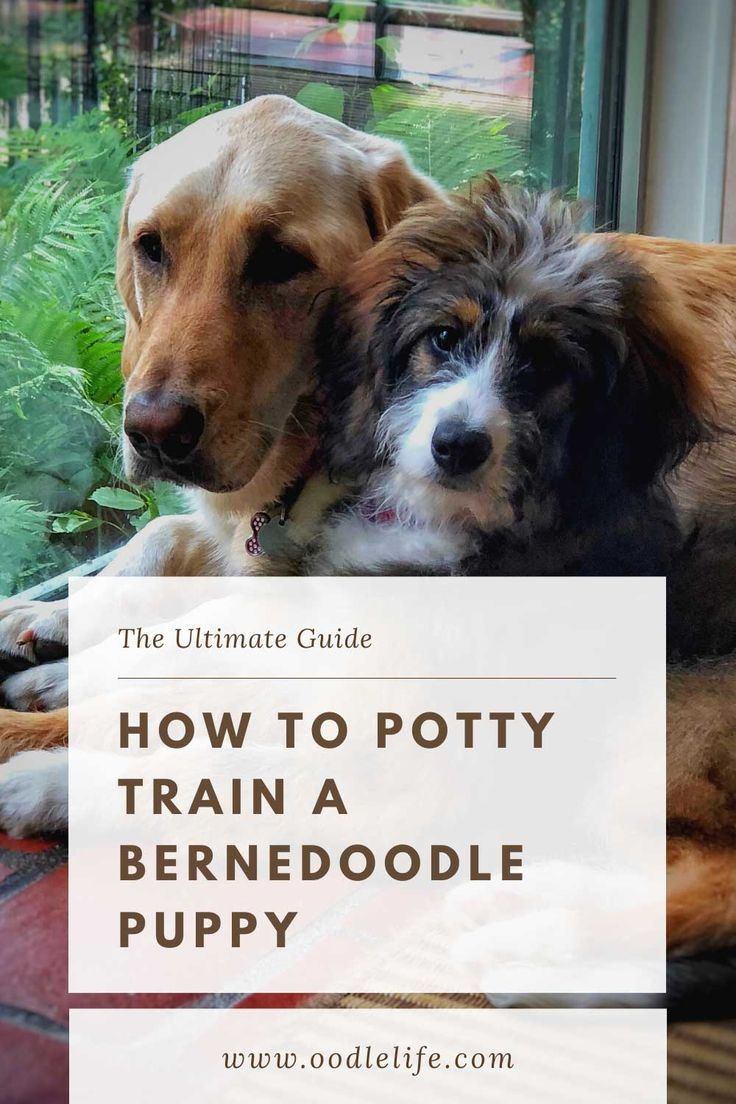 The Ultimate Potty Training Guide For Berendoodle Puppies