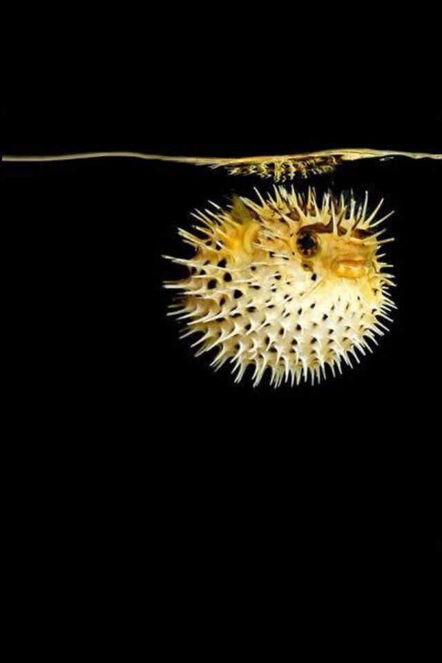 Sea by mark laita fish get the studio treatment puppys for How much is a puffer fish