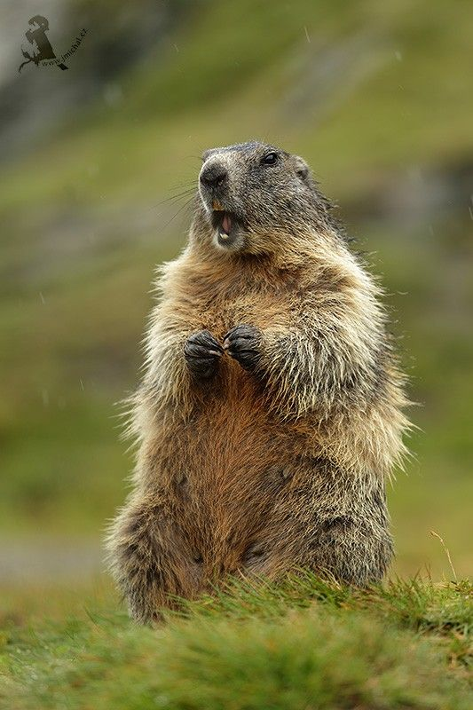 Alpine marmot by JiMchal - The Alpine Marmot is a ground squirrel that lives in high grasslands of the Alps and other European mountain ranges